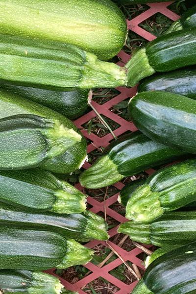 zucchini-erntekiste